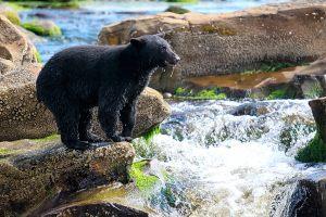 shutterstock_586280561-wild-black-bear