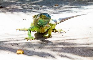 Iguana in Johnny Cay Island