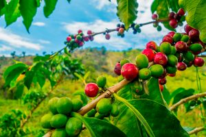 Coffee farm and plantations, Manizales