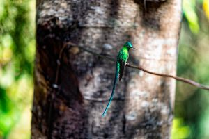 Emerald Hummingbird, Acaime hummingbird sanctuary