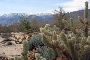 cactus bassa california
