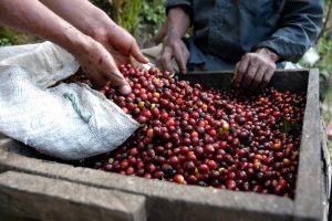 caffe del guatemala