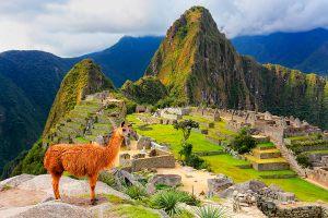 Llama standing at Machu Picchu